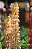 Lupines i trädgården Royaltyfri Foto