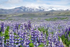 Lupines in Iceland Royalty Free Stock Image