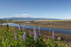 Lupines on Kachemak Bay 3. Spring in Alaska brings clusters of Lupines all along the shoreline of Kachemak Bay in Homer Alaska Stock Photography