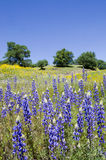 Lupines, Kalifornien-Mohnblumen und Eichen Lizenzfreie Stockfotografie