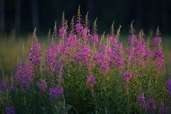 Lupines kwiaty obrazy stock