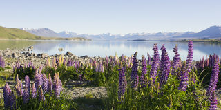 Lupines and lake Stock Image