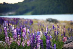 Lupines by the lake Tekapo. Beautiful lupines blooming at early December of the lake Tekapo, New Zealand royalty free stock images