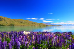 Lupines by the lake Tekapo, New Zealand stock photography