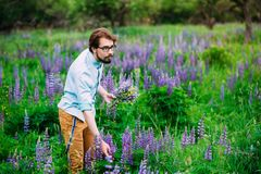 Lupines, lupine young guy picks flowers. stock photo