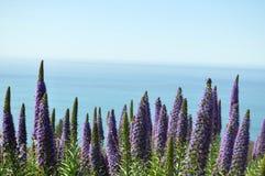 Lupines met oceaan op achtergrond Stock Afbeelding