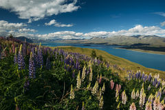 Lupines on Mount John, New Zealand Stock Images
