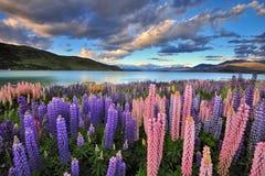 Lupines na brzeg Jeziorny Tekapo zdjęcie stock