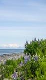 Lupines na plaży Obraz Stock