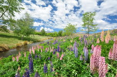 Lupines near lake Alexandrina Royalty Free Stock Photography