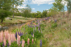 Lupines near lake Alexandrina Stock Photo
