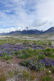 Lupines och Mt McCaleb Idaho Arkivbilder