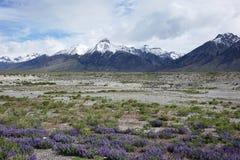 Lupines och Mt McCaleb Idaho Royaltyfri Foto