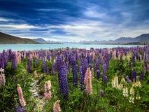 Lupines och sjö Fotografering för Bildbyråer