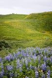 Lupines op een gebied van bloemen royalty-vrije stock foto's