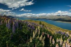 Lupines på monteringen John, Nya Zeeland Arkivbilder
