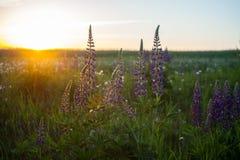 Lupines púrpuras entre hierba verde en la puesta del sol Imagen de archivo