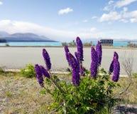 Lupines púrpuras que florecen en el lado del camino a lo largo del lago Pukaki Imagen de archivo libre de regalías