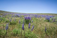 Lupines púrpuras salvajes en Colorado imagen de archivo libre de regalías