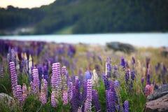 Lupines pelo lago Tekapo imagens de stock royalty free