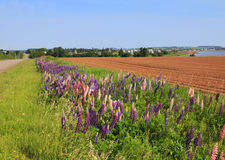 Lupines and potato fields. Countryside road with lupines and potato field Royalty Free Stock Photography