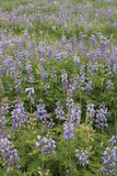 Lupines in a Prairie. A group of Lupines rebounds nicely after the area was burned a few month prior Stock Images
