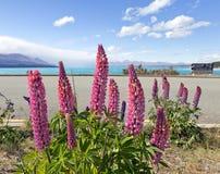 Lupines rosados que florecen en el lado del camino a lo largo del lago Pukaki Imágenes de archivo libres de regalías
