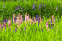 Lupines sauvages Photo stock