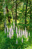 Lupines sauvages Photos stock