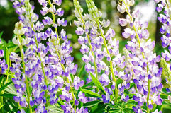 Lupines selvagens Foto de Stock Royalty Free