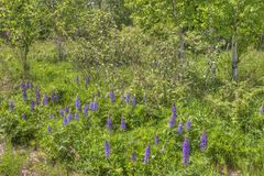 Lupines som blommar i Duluth Minnesota under sommar royaltyfria bilder