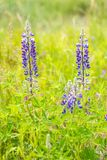 Lupines som växer i ett fält royaltyfri bild
