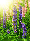 Lupines Stock Images