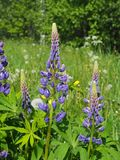 Lupines in a summer field. Meadow, bright, colorful, flowers, floral, blooming, harmony, card, greeting stock photo