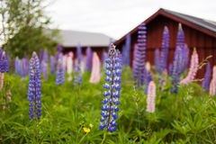 Lupines in the summer. Lupines in the summer in Sweden. Red boat houses in background royalty free stock photos