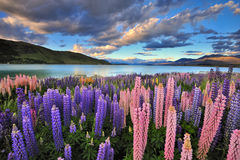 Lupines sur le rivage du lac Tekapo photo stock