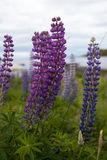 Lupines. Royalty Free Stock Images
