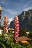 lupines szwajcarscy Obraz Royalty Free