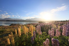 Lupines under sunrise Royalty Free Stock Photos