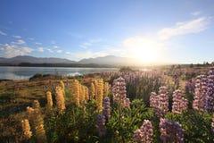 Lupines under sunrise. By nthe lake Tekapo, New Zealand Royalty Free Stock Photos