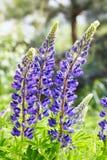 Lupines violetas que florecen en el prado fotografía de archivo