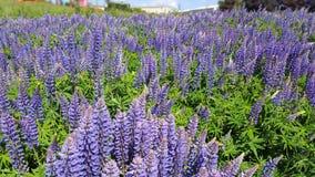Lupines violets sur un flanc de coteau Images stock