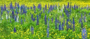 Lupines w polu z Żółtymi kwiatami zdjęcia royalty free