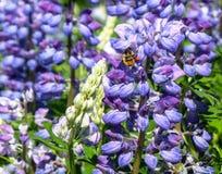 Lupines y abeja de Nootka Imágenes de archivo libres de regalías
