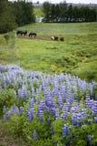 Lupines y caballos en Islandia Foto de archivo libre de regalías