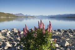 Lupinesblomning på sjön Tekapo, Nya Zeeland Fotografering för Bildbyråer