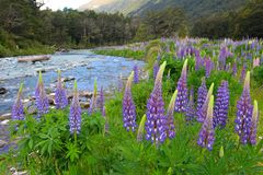 Lupineslupinus polyphyllus langs de weg aan Milford-Geluid, het Nationale Park van Fiordland, Nieuw Zeeland stock foto