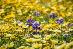 Lupinewildflowers amonf tidytips en goudvelden die op de Vreedzame Oceaankust, Mori Point, Pacifica, Californië bloeien royalty-vrije stock afbeeldingen
