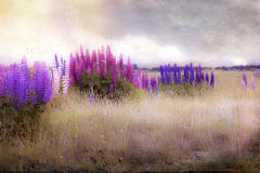 Lupinewildflowers op gebied stock foto's