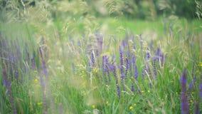 Lupini porpora che fioriscono in un campo L'erba verde ha ondeggiato lentamente nell'unisono con la brezza del vento stock footage